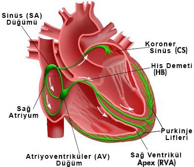 kalbin-iletim-sistemi