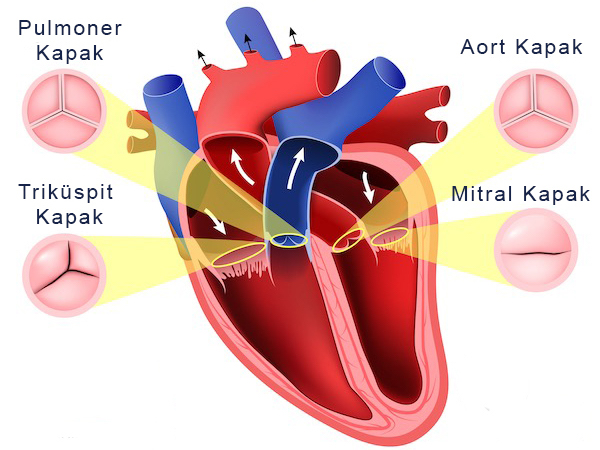 Kalp Kapaklari