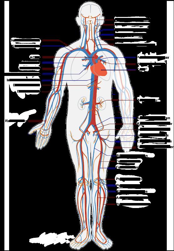 periferik-damar-sistemi